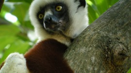 Sifaka Wallpaper For Desktop