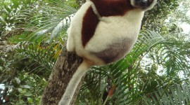 Sifaka Wallpaper For IPhone Download