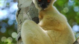 Sifaka Wallpaper For Mobile