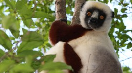 Sifaka Wallpaper For PC