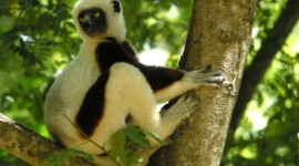 Sifaka Wallpaper Free