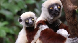 Sifaka Wallpaper Full HD
