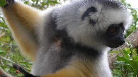 Sifaka Wallpaper Gallery