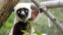 Sifaka Wallpaper HQ