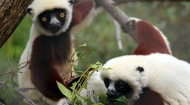 Sifaka Wallpaper HQ#1