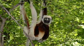 Sifaka Wallpaper HQ#2