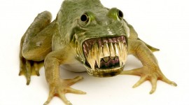 Smiling Frog Desktop Wallpaper HD