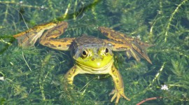 Smiling Frog Photo Download