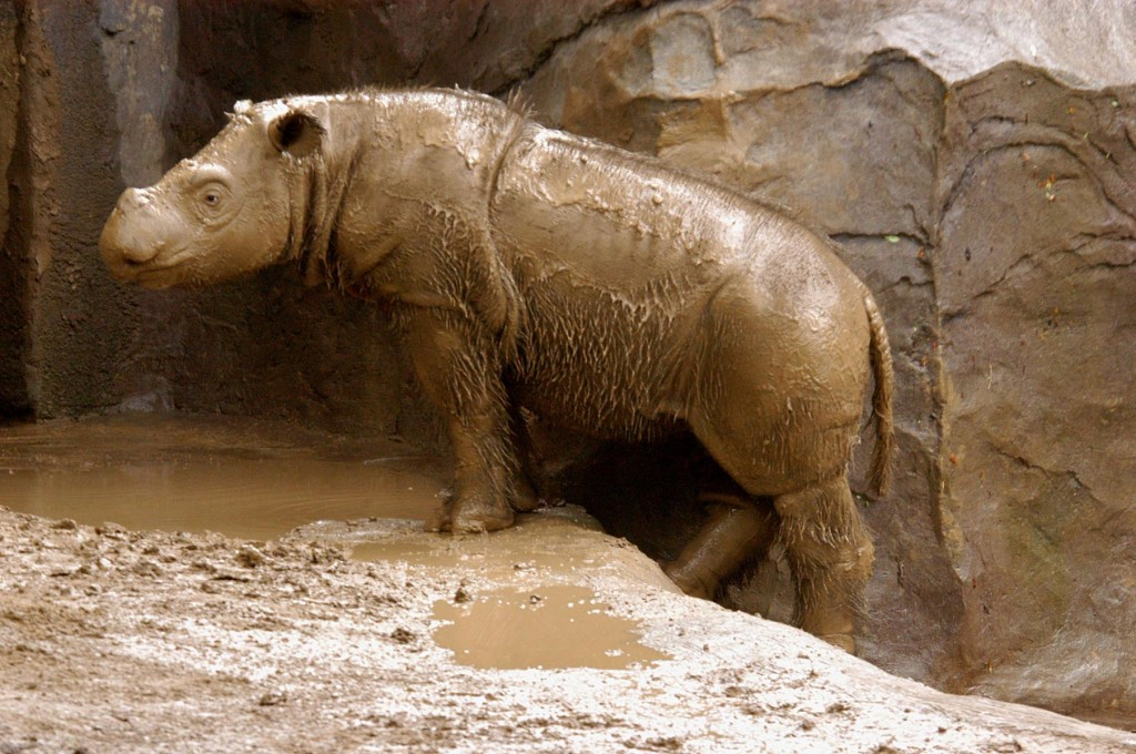 Sumatran Rhinos wallpapers HD