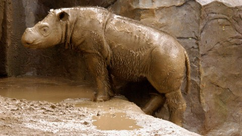Sumatran Rhinos wallpapers high quality