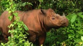 Sumatran Rhinos Desktop Wallpaper For PC