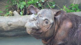 Sumatran Rhinos Desktop Wallpaper HD