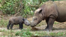 Sumatran Rhinos Photo