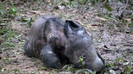 Sumatran Rhinos Photo Download
