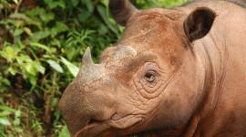 Sumatran Rhinos Photo Free