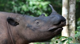 Sumatran Rhinos Photo#2