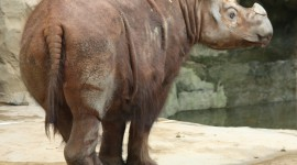 Sumatran Rhinos Photo#3