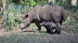 Sumatran Rhinos Pics
