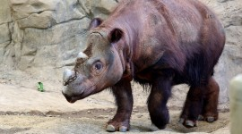 Sumatran Rhinos Wallpaper 1080p