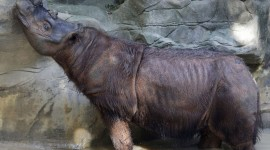 Sumatran Rhinos Wallpaper