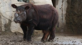 Sumatran Rhinos Wallpaper Download