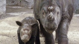Sumatran Rhinos Wallpaper For Android