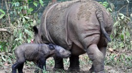Sumatran Rhinos Wallpaper For Desktop