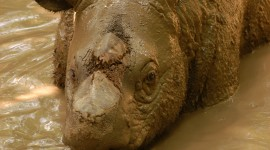 Sumatran Rhinos Wallpaper For IPhone