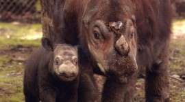 Sumatran Rhinos Wallpaper For Mobile