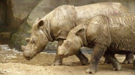 Sumatran Rhinos Wallpaper For PC