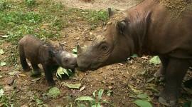 Sumatran Rhinos Wallpaper Free