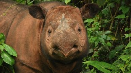 Sumatran Rhinos Wallpaper Full HD