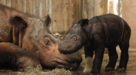 Sumatran Rhinos Wallpaper Gallery
