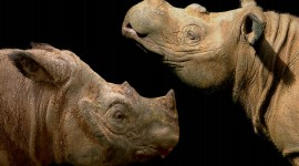 Sumatran Rhinos Wallpaper HQ