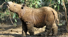 Sumatran Rhinos Wallpaper HQ#1