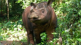 Sumatran Rhinos Wallpaper HQ#2