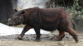 Sumatran Rhinos Wallpaper HQ#3