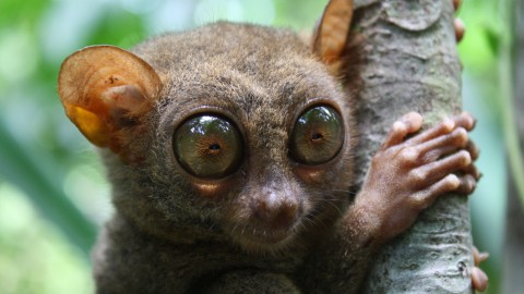 Tarsier wallpapers high quality
