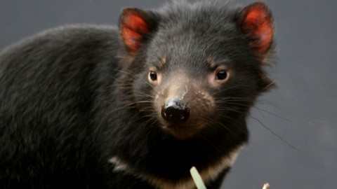 The Tasmanian Devil wallpapers high quality