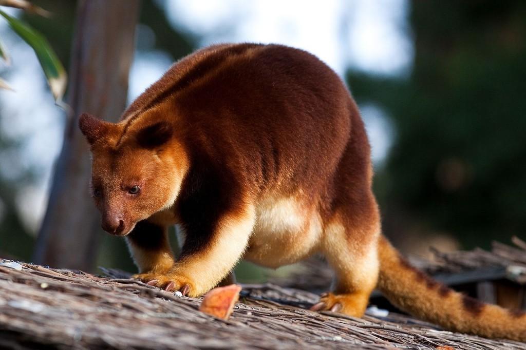 Tree Kangaroos wallpapers HD