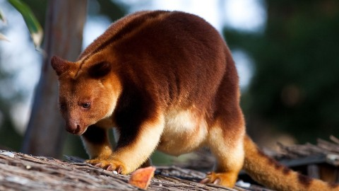 Tree Kangaroos wallpapers high quality