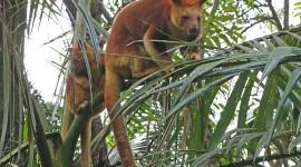 Tree Kangaroos Desktop Wallpaper For PC