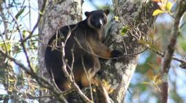 Tree Kangaroos Photo#1