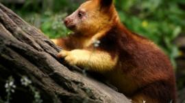 Tree Kangaroos Photo#2