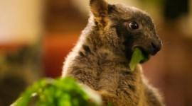 Tree Kangaroos Photo#3