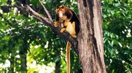 Tree Kangaroos Wallpaper 1080p
