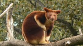 Tree Kangaroos Wallpaper For PC