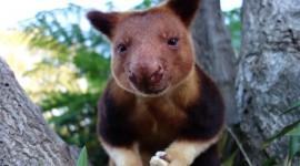 Tree Kangaroos Wallpaper HQ