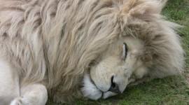 White Lion Desktop Wallpaper For PC