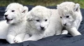 White Lion Desktop Wallpaper HD